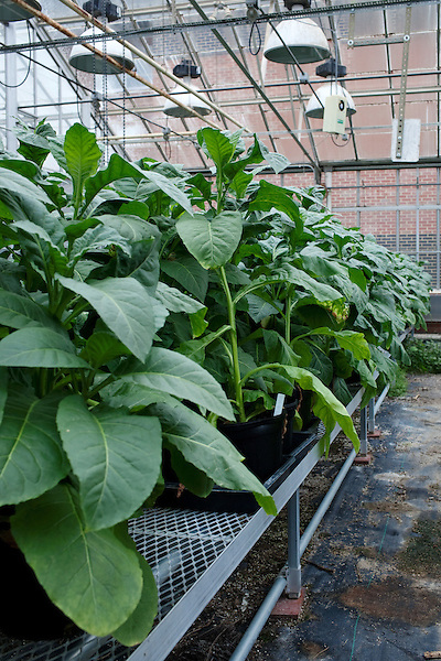 October 19, 2011. Raleigh, NC.. In a partnership with NC State University, 22nd Century Group Inc. is growing tobacco plants  that have modified levels of nicotine content. The end goal is to create a low nicotine tobacco to help people quit smoking..
