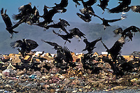 A flock of vultures flies over the garbage dump La Chureca, Managua, Nicaragua, 10 November 2004. La Chureca is the biggest garbage dump in Central America. Hundreds of trash recollectors search in tons of smouldering garbage mainly metals (copper, aluminium), others concentrate on glass which is cheap, but in bigger amount. The majority of the recyclers are families with children for whom recycling is a regular job. The children very often eat the food they find on the dump, none of them goes to school, they suffer from skin diseases, they have high levels of lead and DDT in blood.