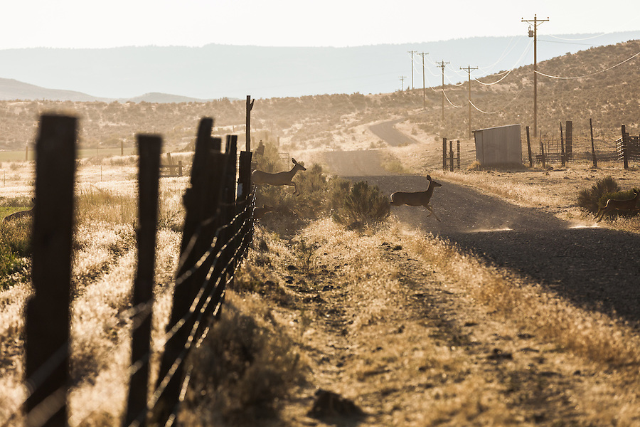 A group of Columbian black-tailed deer leap over or run under a barb-wire fence and cross a gravel road in a remote and rural part of Southeast Oregon.