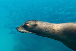 Galapagos Islands, Ecuador , Galápagos sea lion (Zalophus wollebaeki)