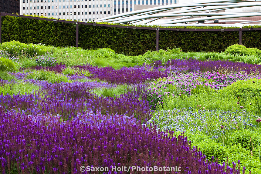 Lurie Garden reconstructed prairie meadow garden at Millenium Park, rooftop garden over parking garage downtown Chicago; plant design by Piet Oudolf