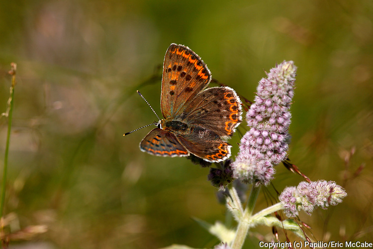 Sooty Copper Butterfly, Lycaena tityrus near Koprivshtitza<br /> Bulgaria<br /> insect<br /> nature<br /> wildlife<br /> flower<br /> wildflower<br /> pollen<br /> pollinate<br /> pollination