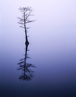 Bald cypress in fog, Reelfoot Lake National Wildlife Refuge, Tennessee