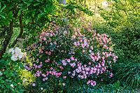 France, Maine-et-Loire (49), Brissac-Quincé, château de Brissac, massif d'arbustes et plantes vivaces avec le rosier '???'