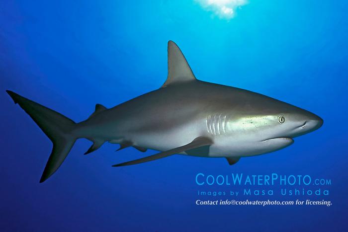 Caribbean reef shark, Carcharhinus pelezi, Freeport, Grand Bahama, Bahamas, Caribbean Sea, Atlantic Ocean (dc)