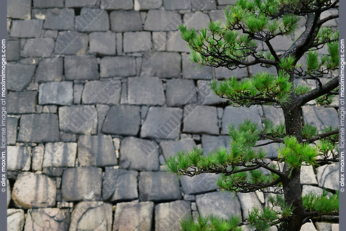 Japanese black pine tree, Pinus thunbergii, green branches on stone castle wall background in Osaka, Japan Image © MaximImages, License at https://www.maximimages.com