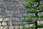 Japanese black pine tree, Pinus thunbergii, green branches on stone castle wall background in Osaka, Japan