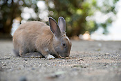 Rabbits on Okunoshima, aka Rabbit Island, in Hiroshima Prefecture Japan.