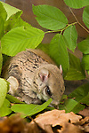 Northern Flying Squirrel, Glaucomis sabrinus