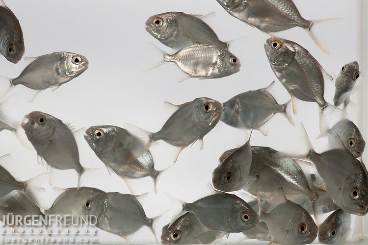 Pompano or Pomfret (trachinotus blochii) fingerling from Finfish Hatchery, a subsidiary of Alson's Aquaculture.