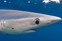 blue shark, Prionace glauca, note parasite, eye detail and skin, Cape Point, South Africa, southern Afrca