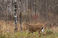 White-tailed fawn walking alond the forest's edge in northern Wisconsin.