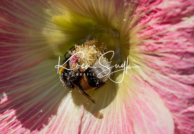 HALFWEG - insecten op de golfbaan , Aardhommel Bombus terrestri , Amsterdamse Golf Club. (AGC)  . Insecteninventarisatie  COPYRIGHT KOEN SUYK