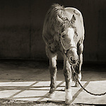 Photograph by Isa Leshko, Handsome One, Thoroughbred Horse, Age 33