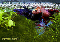 BY05-102z  Siamese Fighting Fish - male mating with egg laden female - Betta splendens