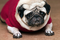A pug, dressed in a pink jumper attends a fashion show for dogs to present outfits designed to protect pets from the cold.