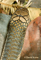 0503-1107  King Cobra (India, Largest Venomous Snake in the World), Detail of Head, Ophiophagus hannah  © David Kuhn/Dwight Kuhn Photography