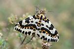 Magpie Moth, Abraxas grossulariata, Kent UK, adult