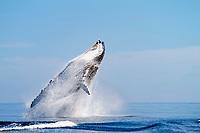 Kingdom of Tonga, Ha'apai, Humpback whale (Megaptera novaeangliae) breaching