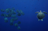 Sipadan island is known as one of the worlds top diving destinations due to the prestine coral reefs and rich wildlife. The abundance of turtles in particular is amazing, in this picture an Hawksbill turtle pass a group of fish.