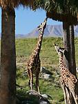 giraffes at the Living Desert
