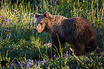 Yearling grizzly bear cub. Yellowstone National Park, Wyoming.