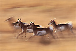 Pronghorn antelope in motion, Wyoming