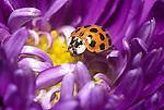 Nine Spotted Ladybug Beetle (Coccinella novemnotata).