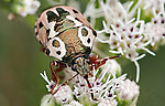 An Anchor Stinkbug on Boneset.