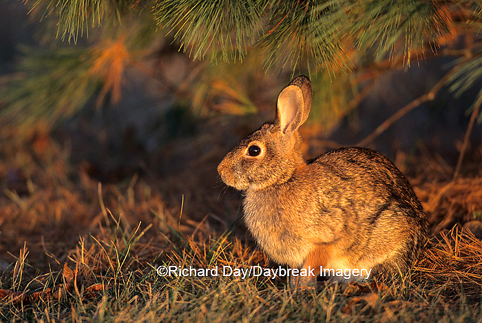 02212-00207 Eastern cottontail (Sylvilagus floridanus) under pine tree,   Marion Co.   IL