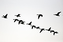 Flock of Canada geese flying silhouetted against the sky. Stock photography from Olympic Photo Group