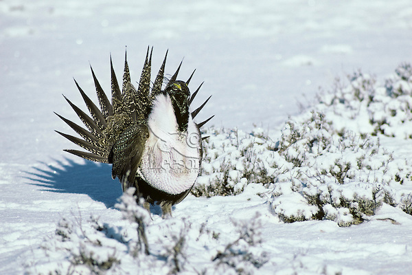 Male sage grouse displaying.  Western U.S., March.