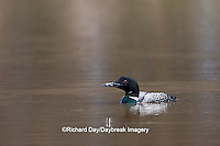 00602-00107 Common Loon (Gavia immer) in wetland, Marion Co., IL