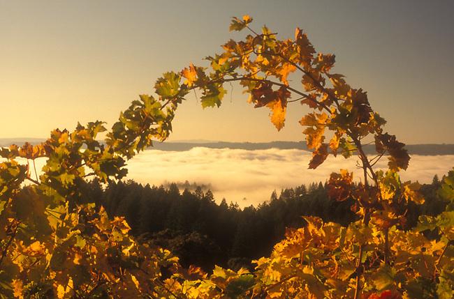 Fog in Napa Valley as seen through vineyard on Spring Mountain