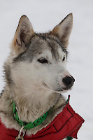 A Newton Marshall dog in the dog lot in Nome on Saturday March 15 during the 2014 Iditarod Sled Dog Race.<br /> <br /> PHOTO (c) BY JEFF SCHULTZ/IditarodPhotos.com -- REPRODUCTION PROHIBITED WITHOUT PERMISSION