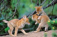Three wild coyote pups play near densiite.  Western U.S.,  June.