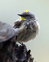 Male yellow-rumped warbler, Audubon's form