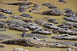 Alligators jockeying for position before feeding time.