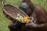 Foto: VidiPhoto<br /> <br /> RHENEN – Ook dieren kunnen moeder zijn. Daarom verrastte Ouwehands Dierenpark in Rhenen ringstaartmakimoeders en orang oetanmoeder Tjintha donderdag met bloemen. Omdat bloemen voor dieren ongezonde stoffen kunnen bevatten, stelde kwekerij Look&Taste uit Bruchem in de Bommelerwaard voor het experiment eetbare bloemen beschikbaar. In de speciale Moederdagmand zaten onbespoten viooltjes, Afrikaantjes, begonia's, komkommerkruid en oostindische kers; verschillende smaken. Terwijl de halfapen bij de bloemenweelde niet verder kwamen dan snuffelen en wat voorzichtig proeven, liet moeder Tjintha zich het fleurige buffet goed smaken. Zondag is het Moederdag.