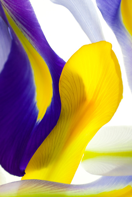 An artful composition of iris petals