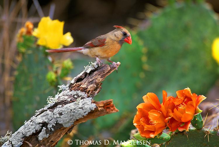 First Mate-Female Cardinal (Cardinalis cardinalis) South Texas..#PRINT-2764.00