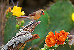 First Mate-Female Cardinal (Cardinalis cardinalis) South Texas..#PRINT-2764.00
