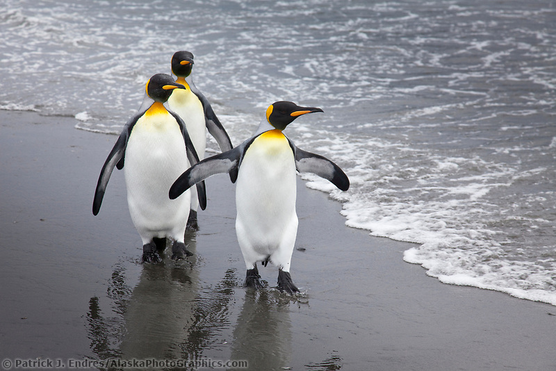 King penguins, Salisbury Plain, South Georgia Island