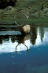 WY: Wyoming; Yellowstone National Park, Elk standing in water                   .Photo Copyright Lee Foster, lee@fostertravel.com, www.fostertravel.com, (510) 549-2202.Image: wyyell213