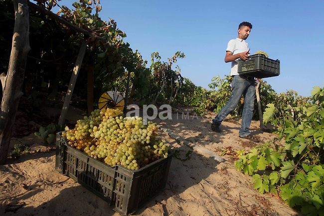 A Palestinian farmer harvests grapes at a field in Rafah, southern Gaza Strip, on Aug. 9, 2012. The Israeli blockade and military operations across  has blocked Palestinian farmers from exporting their goods. Photo by Ashraf Amra