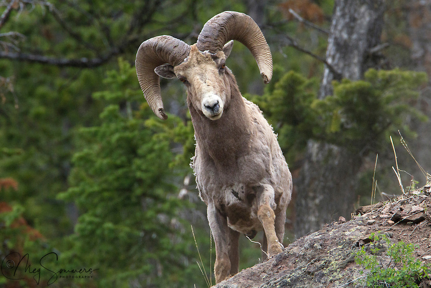 "The bighorn sheep (Ovis canadensis) live in flocks, and do not typically follow a single leader ram. Prior to the mating season or ""rut"", the rams attempt to establish a dominance hierarchy that determines access to ewes for mating. It is during the prerut period that most of the characteristic horn clashing occurs between rams, although this behavior may occur to a limited extent throughout the year. Ram's horns can frequently exhibit damage from repeated clashes. Females exhibit a stable hierarchy that correlates with age. Sylvan Pass, Yellowstone."