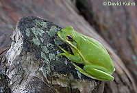 0605-0911  American Green Treefrog Climbing Tree at Outer Banks North Carolina, Hyla cinerea  © David Kuhn/Dwight Kuhn Photography