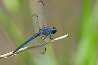 389170001 wild male slaty skimmer dragonfly libellula incesta perched on small twing in san jacinto national forest san jacinto county texas