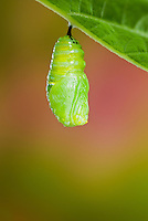 MONARCH BUTTERFLY (Danaus plexippus) newly formed pupa begins the pupal stage of its life cycle. Summer, Nova Scotia, Canada.  Series: 1 of 8 images.