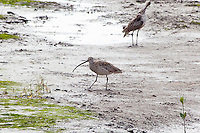 Eastern Curlew, Cairns oceanfront, Queensland, Australia